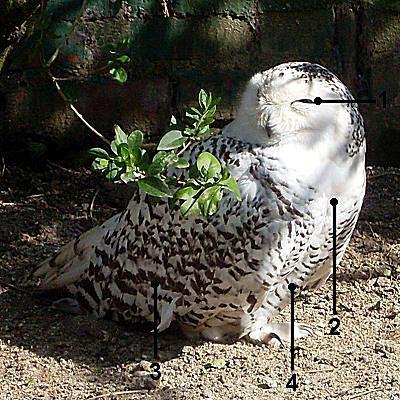 Identify a Female Snowy Owl