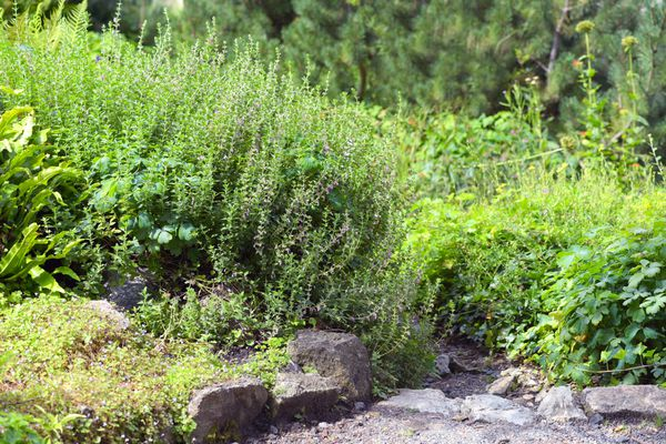 Wall germander plant with clump-formed leaves with light purple flowers