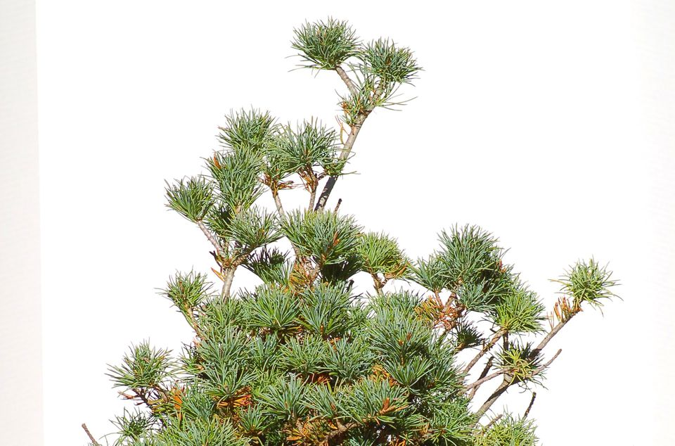Dwarf white pine tree.