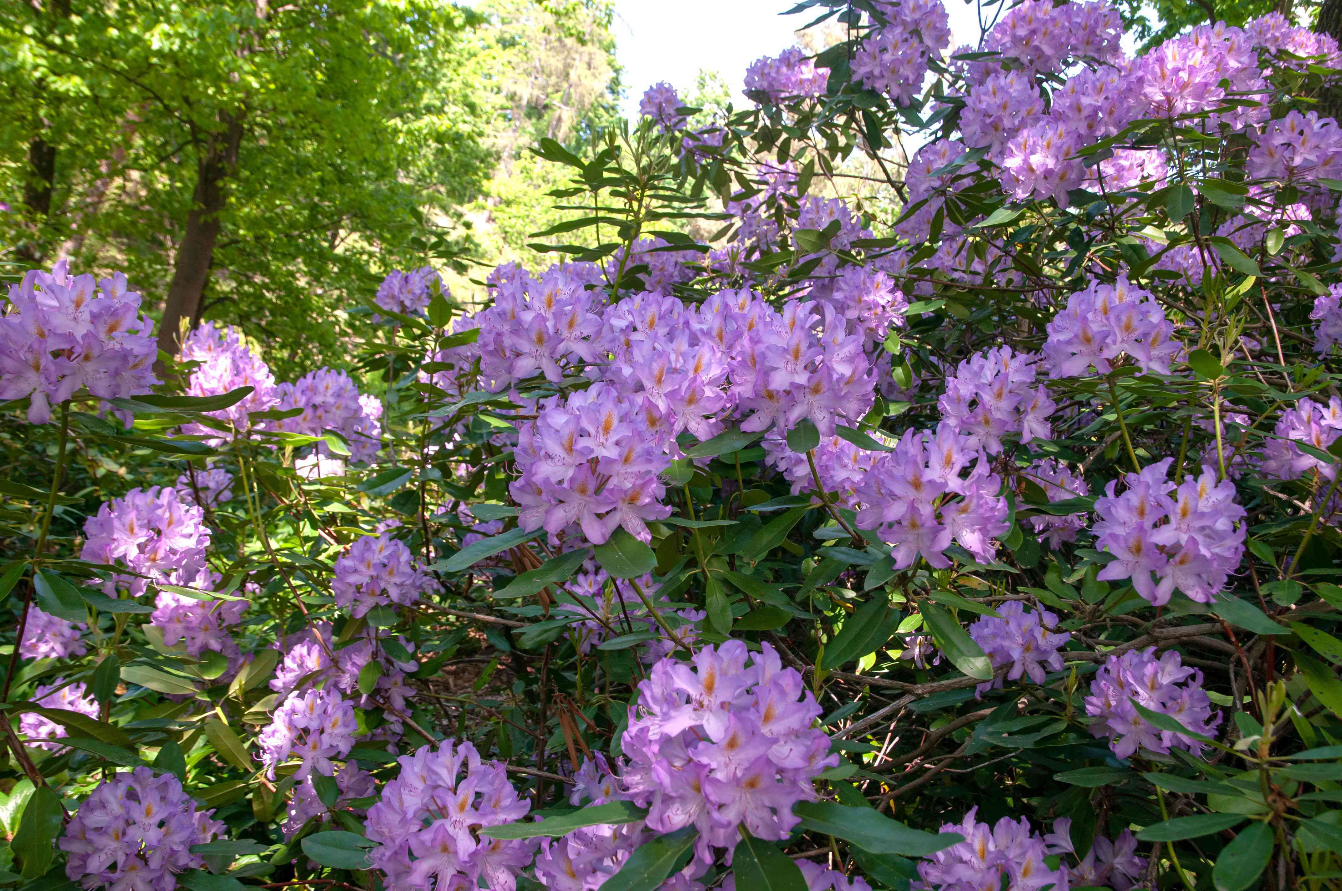 Rhododendron shrub with light purple flowers clustered on tall branches