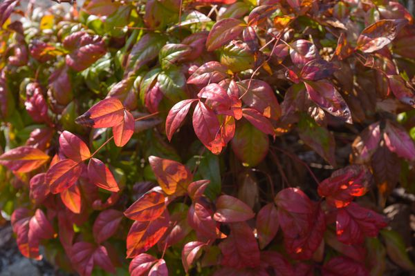Firepower nandina plant with red leaves in partial sunlight