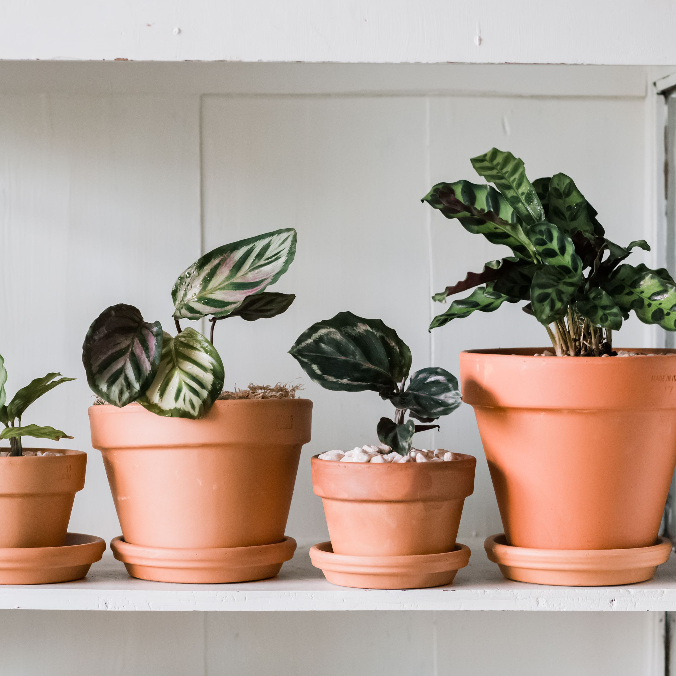 Calathea Indoor Plant Care Growing Guide