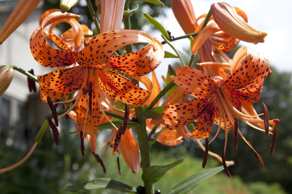 Orange tiger lily flowers.