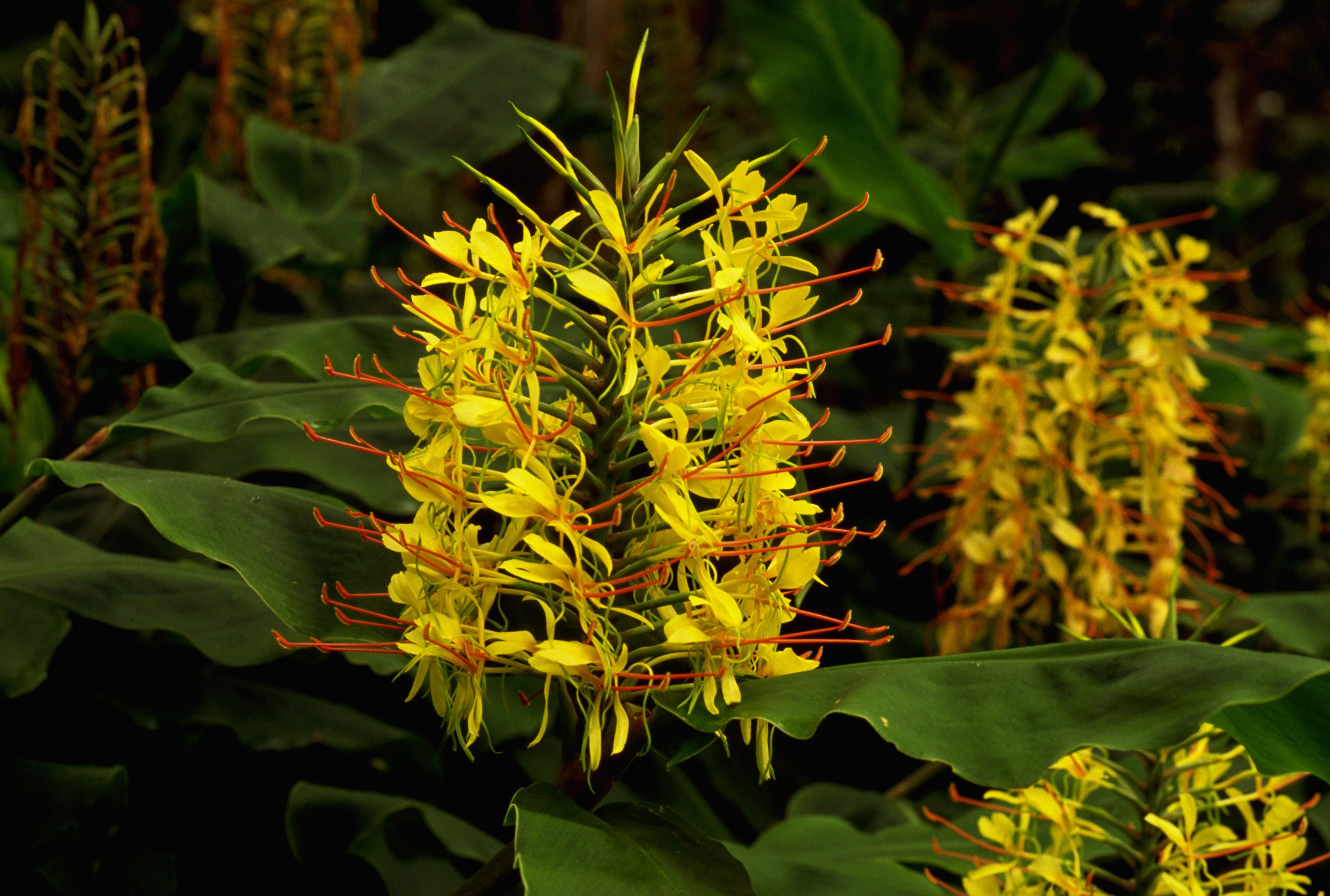 Flowering ginger plants profile izmirmasajfo