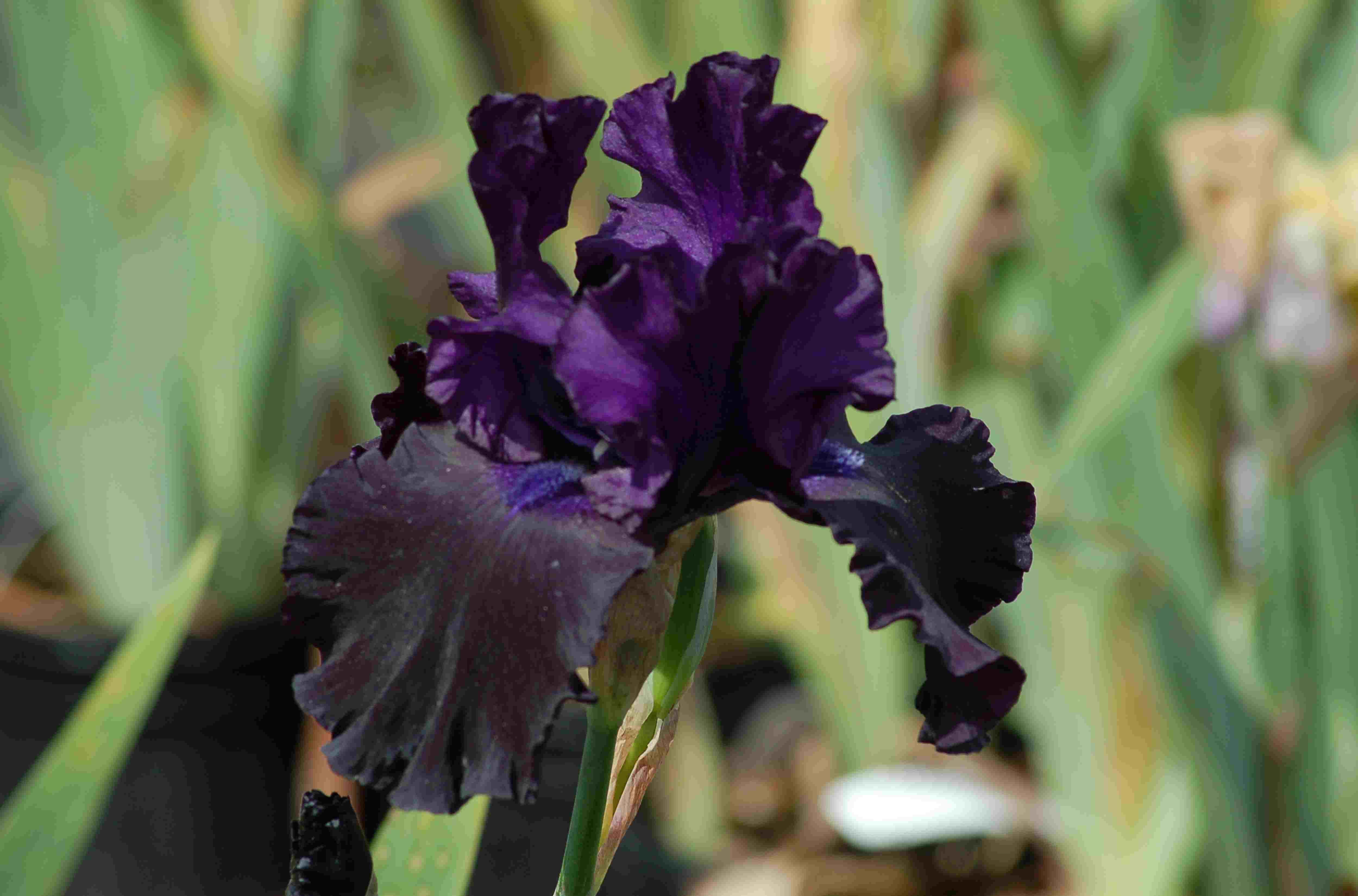 Deer resistant perennials plants bambi wont eat image black iris izmirmasajfo