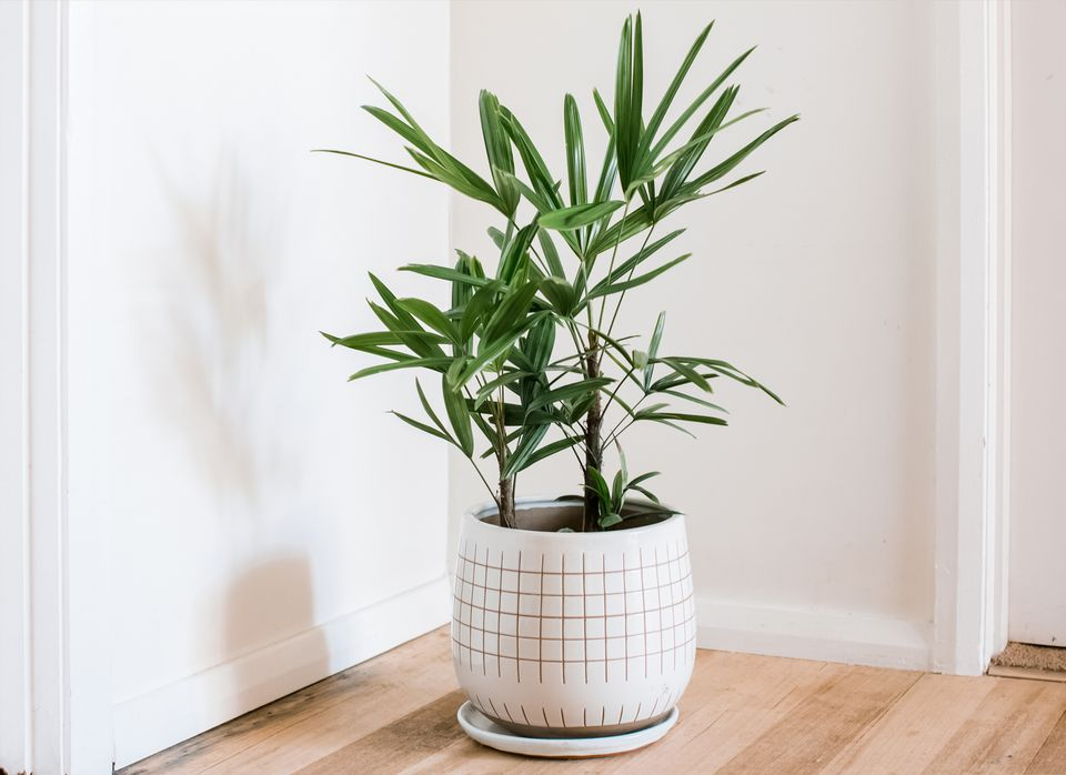lady palm in a pot