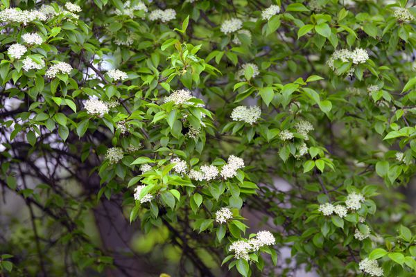 Blackhaw viburnum shrub with ovate green leaves and small white flower clusters