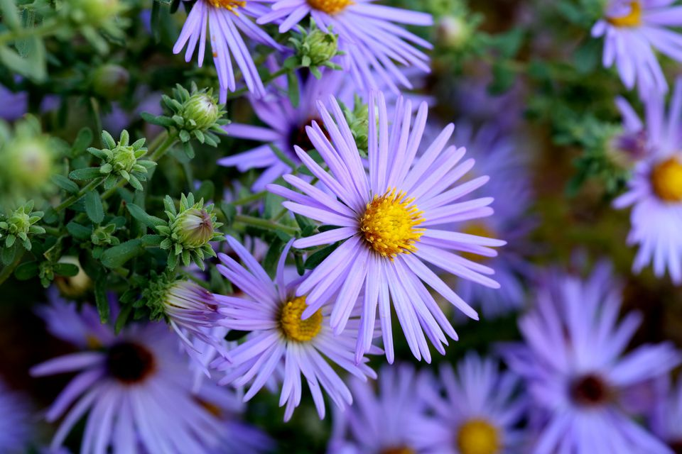 Hardy Blue Aster Flowers Close-up