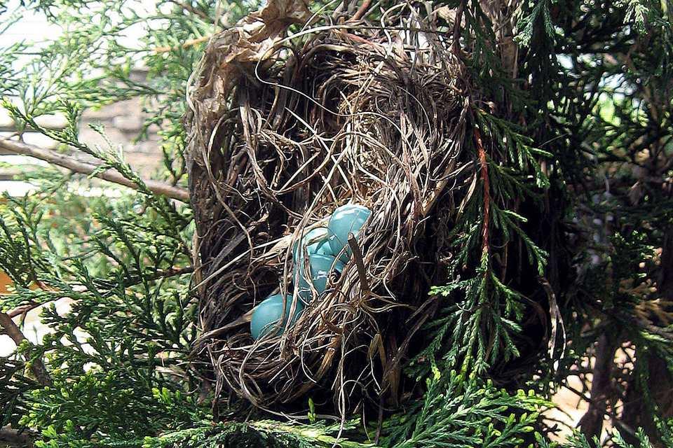 Fallen Nest With Eggs