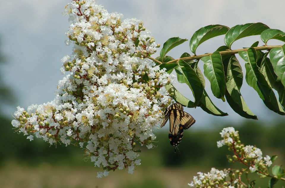 A tiger swallowtail drinks nectar from a white-flowering crepe myrtle bush.