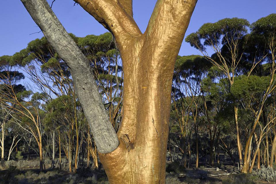 Eucalyptus salubris trees, commonly known as Gimlet, Fluted Gum Tree, Gimlet Gum, with red smooth trunks, in evening light, fall, Western Australia, Australia