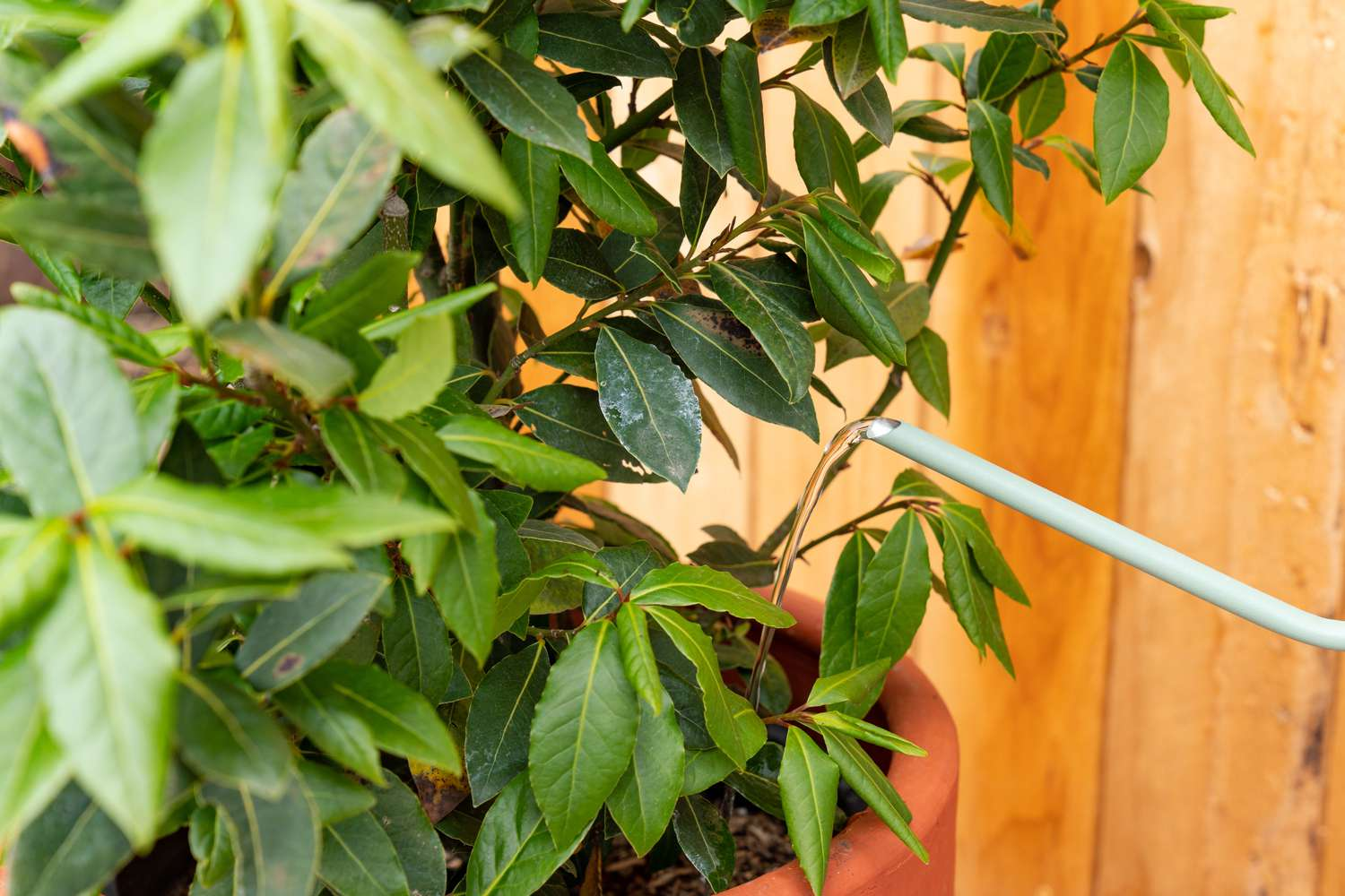 Bay laurel plant in orange pot with mint-colored watering can pouring water