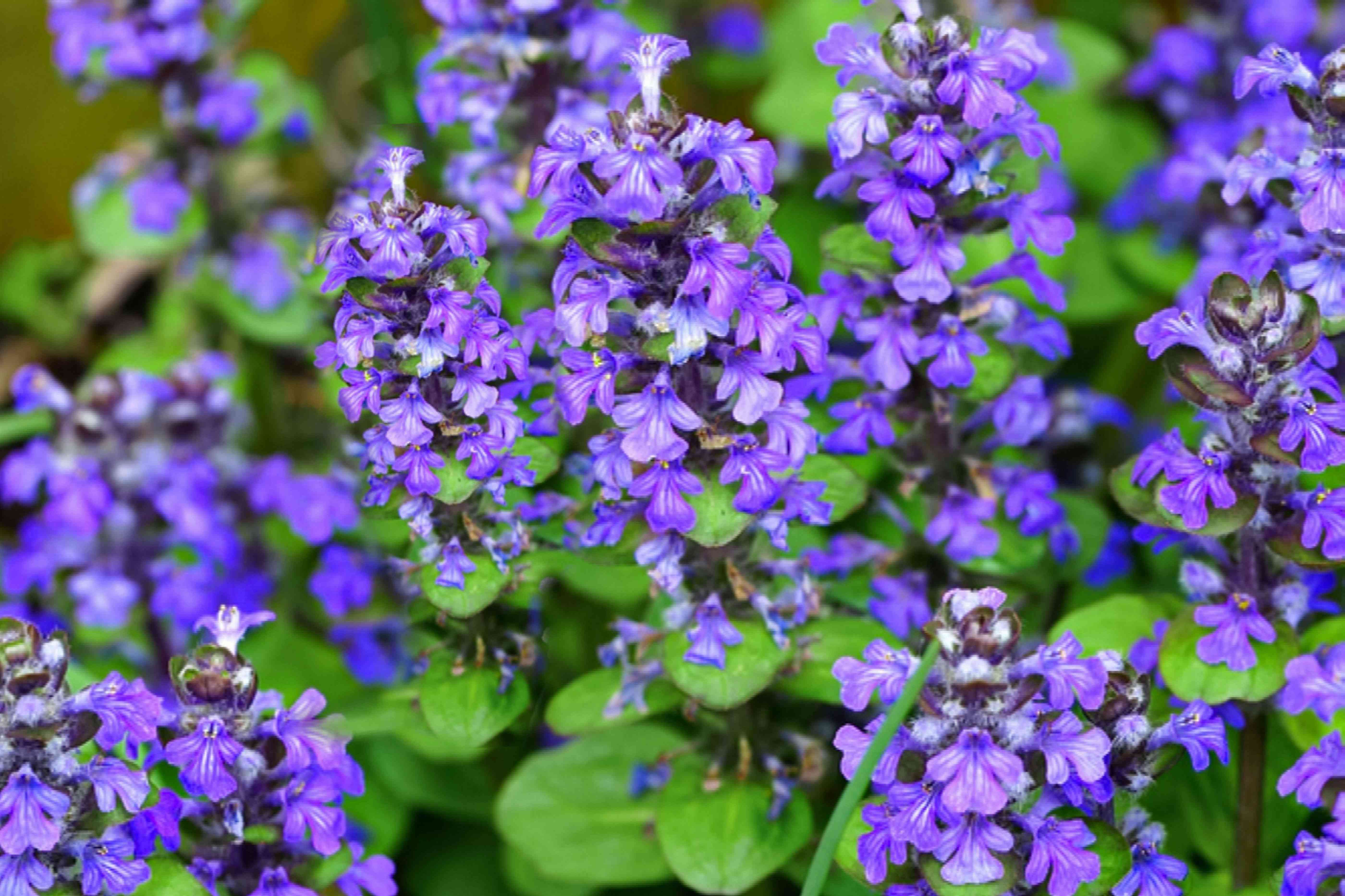 Ajuga plant with small purple flower spikes closeup