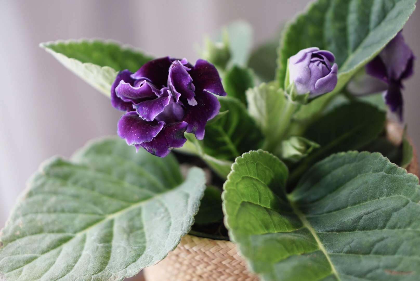 Gloxinia senningia hybrid plant with purple flower and light purple bud closeup