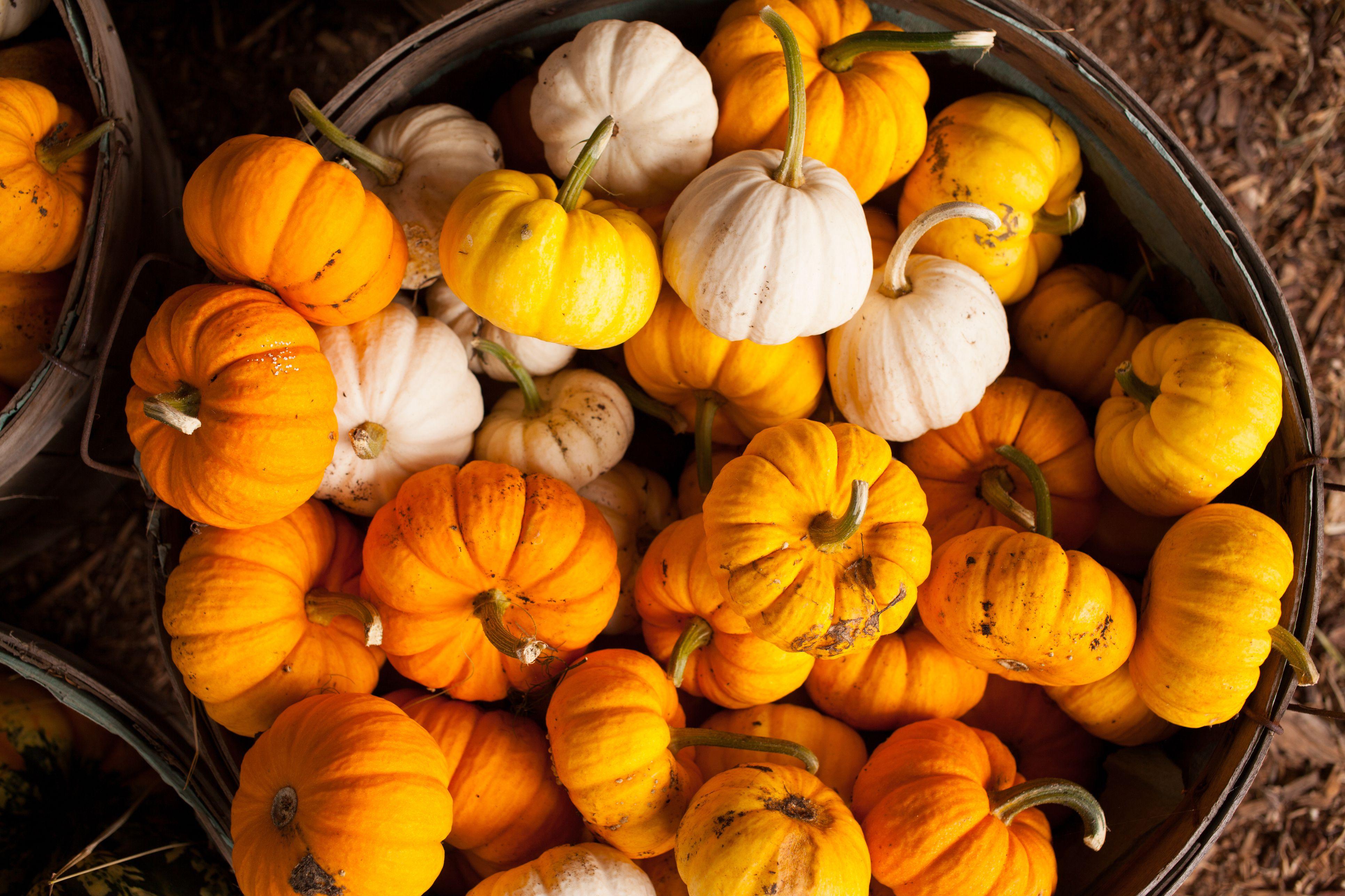bucket full of miniature pumpkins