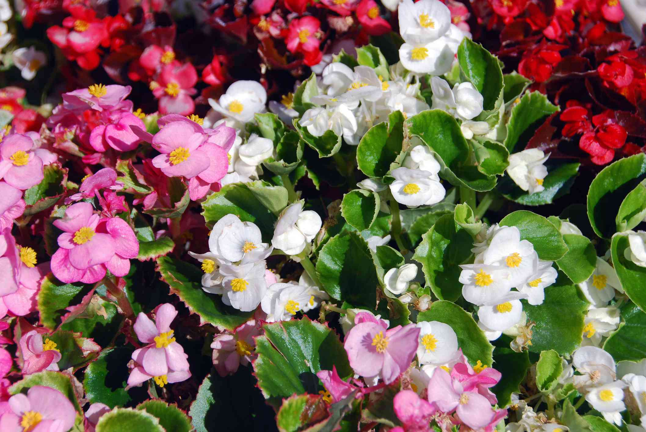 Wax begonia with pink, white, and red blossoms