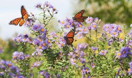 Monarch Butterfly Flower Garden