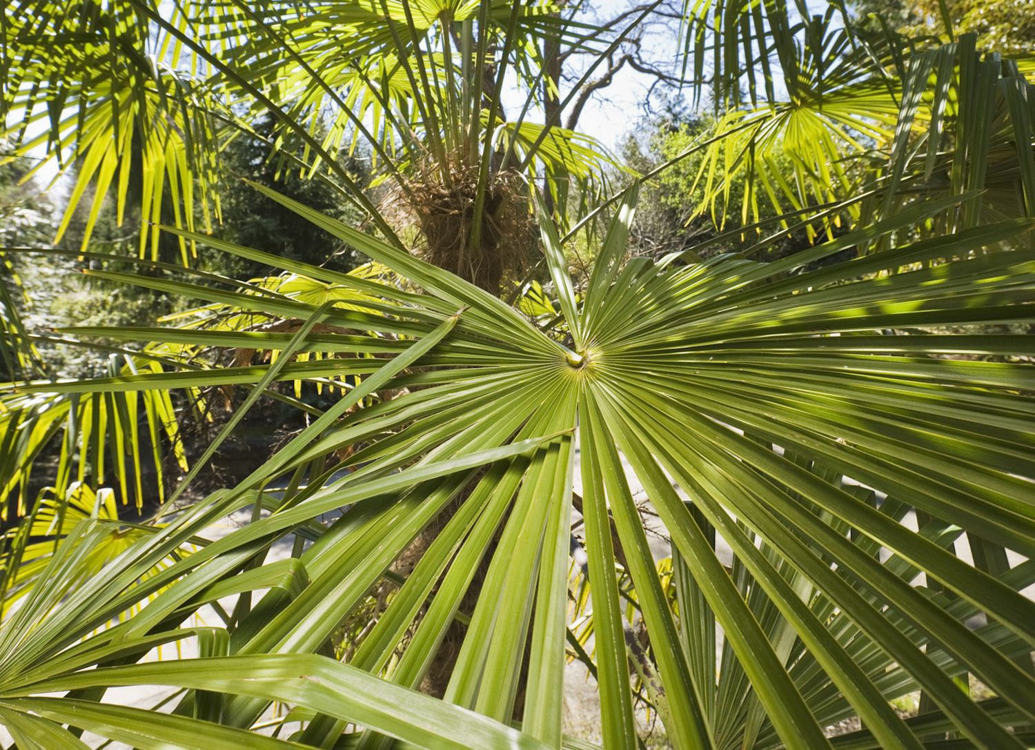 How To Grow Windmill Palm Trachycarpus Fortunei