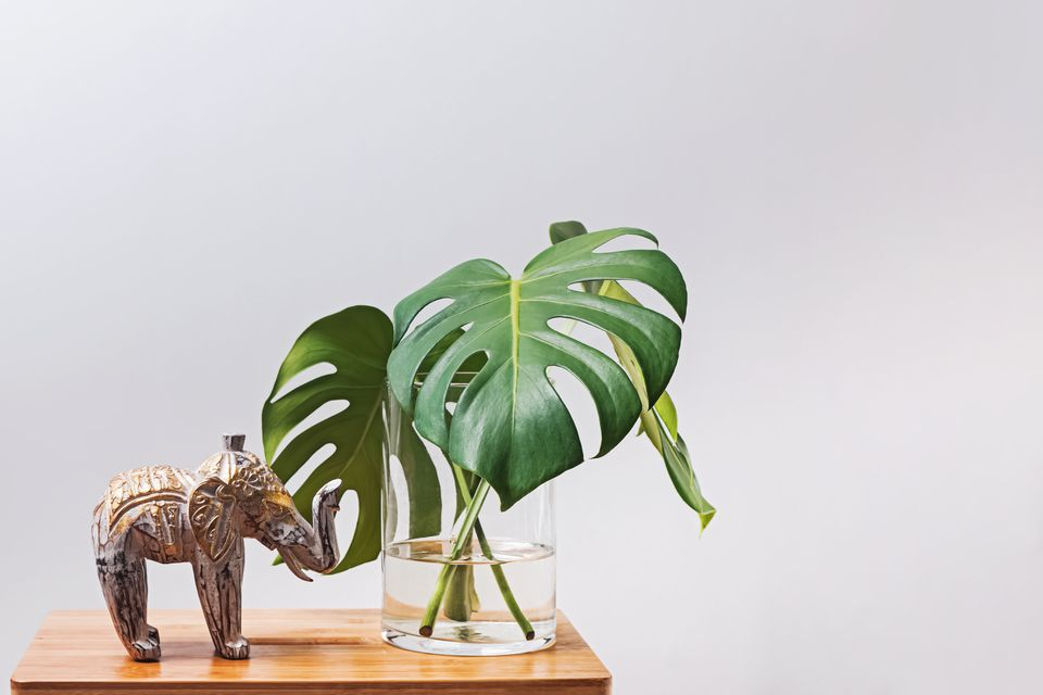 Large Monstera palm leave in a glass vase