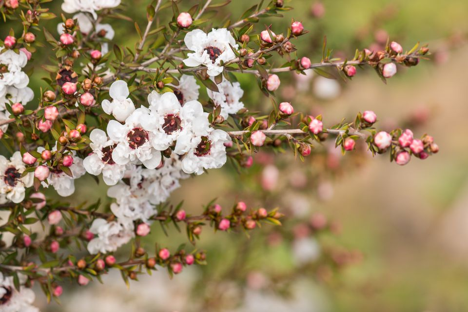 white New Zealand tea tree flowers with raindrops and blurred background