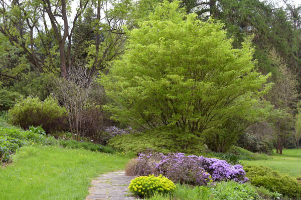 Hornbeam maple tree with bright green leaves behind pathway in garden