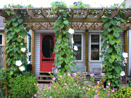 Moonflower vine climbing on pergola. Flickr member Bev Wagar - The Best Vines For Pergolas And Arbors