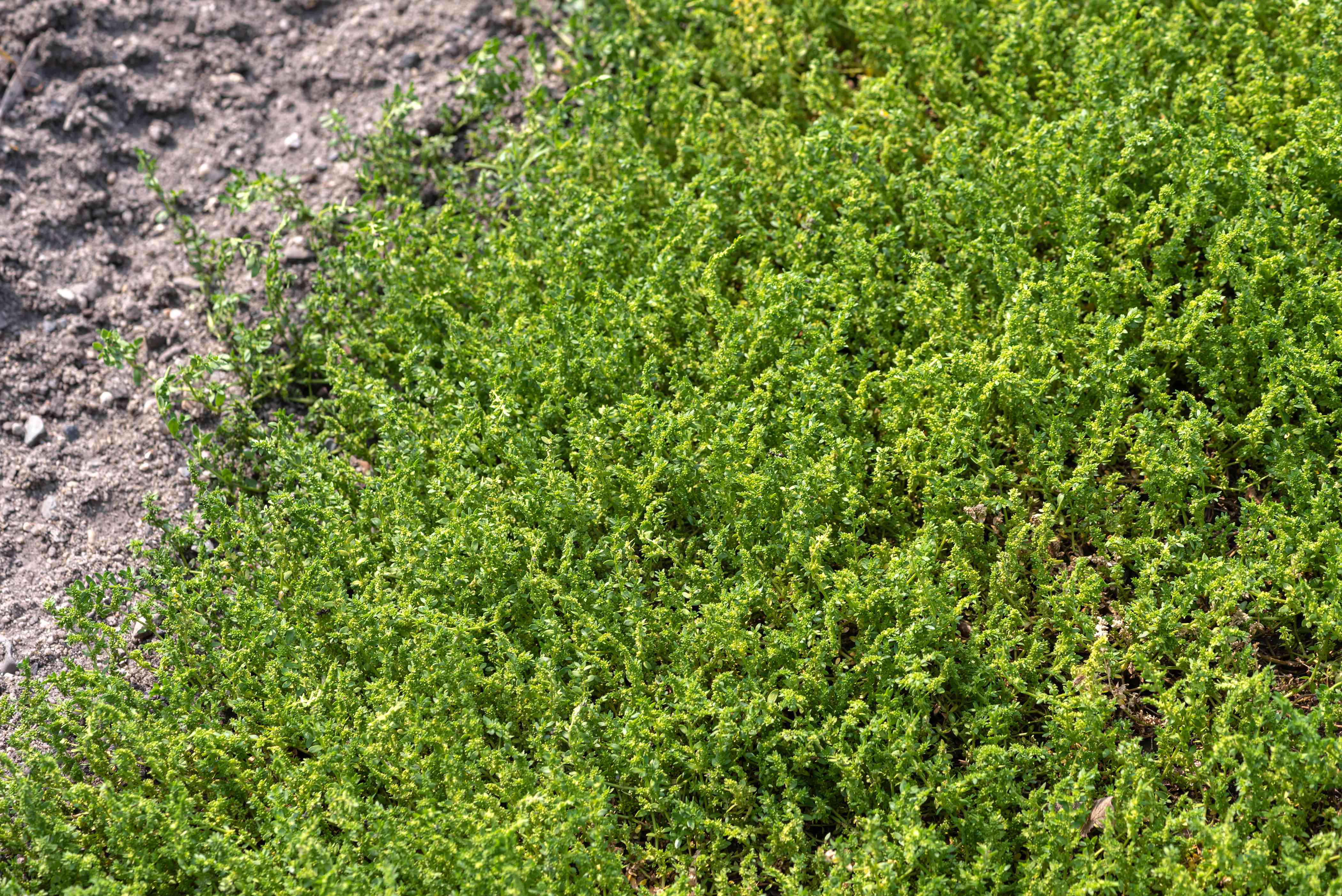 Rupturewort ground cover with bright green dense foliage next to soil
