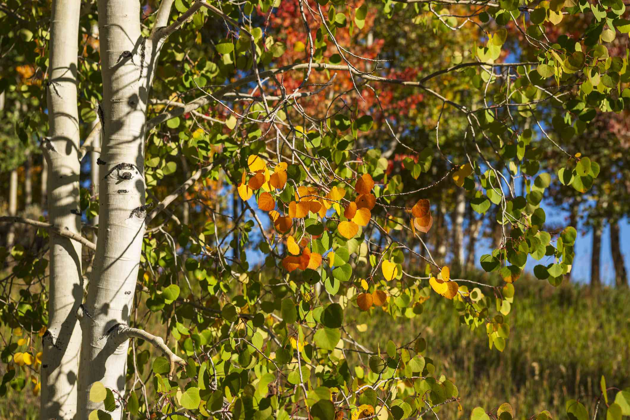 Leaves starting to change on Quaking Aspen trees in Colorado.