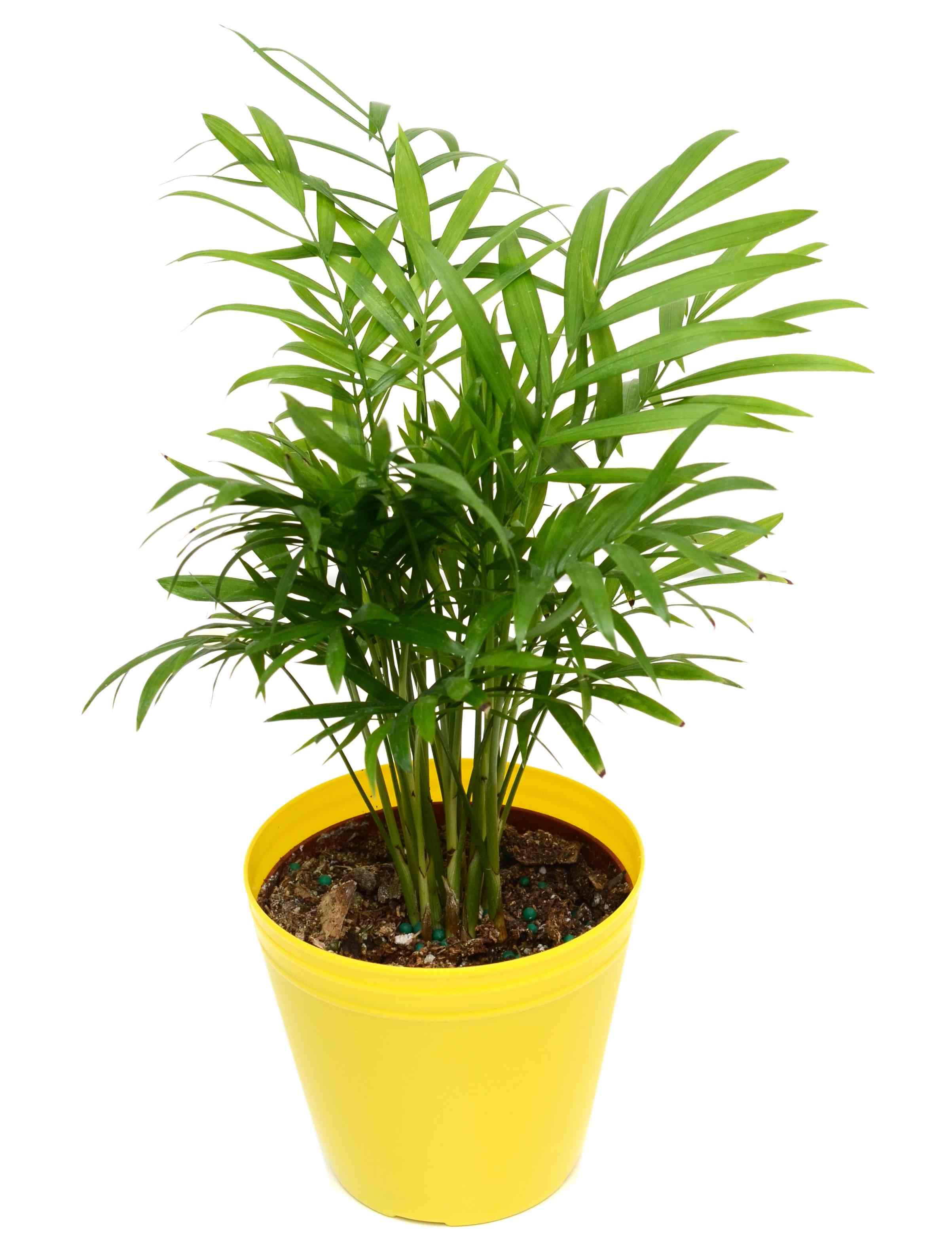 Green palm foliage tree isolated