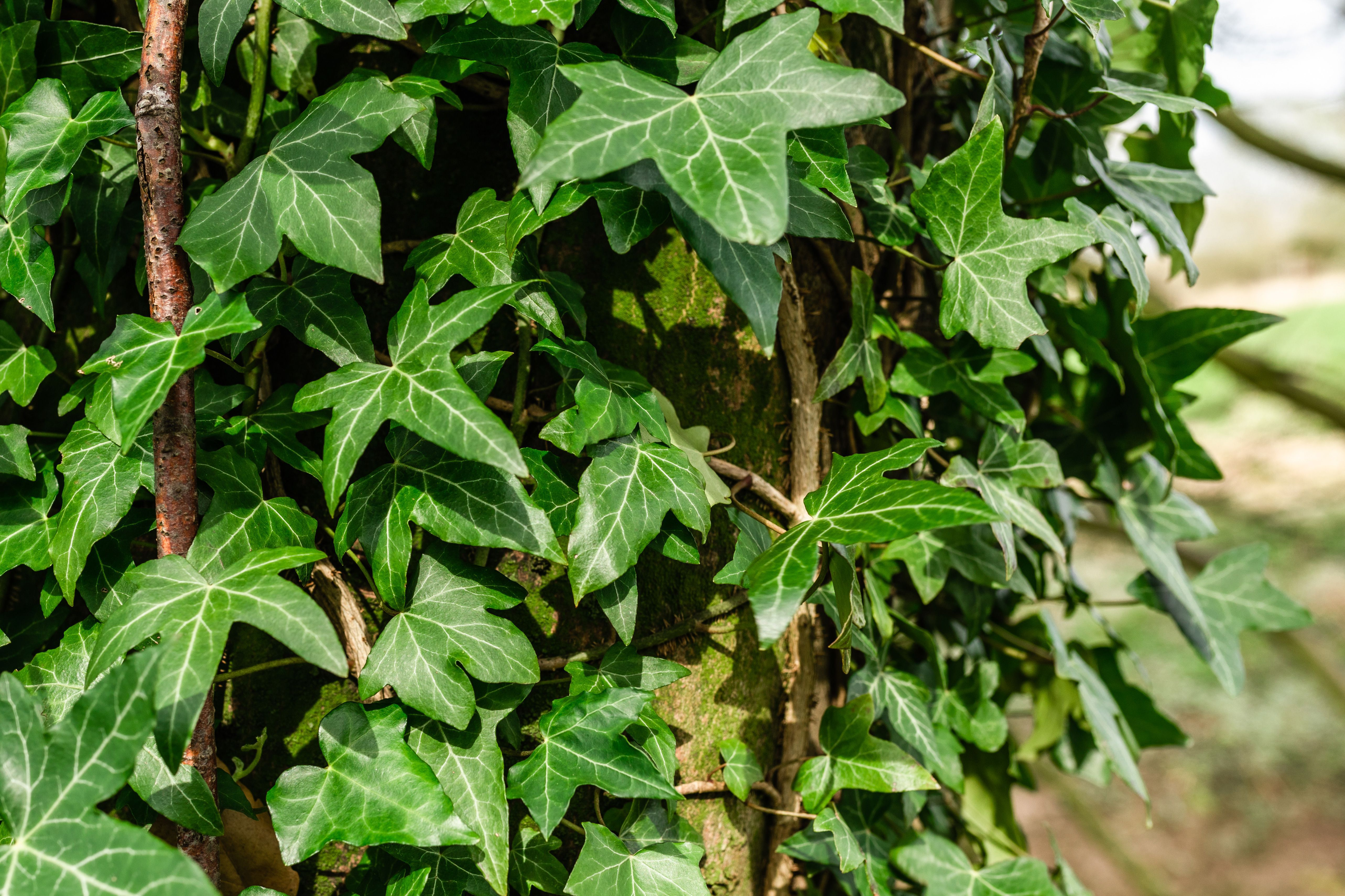 10 Perennial Vines For Shady Areas