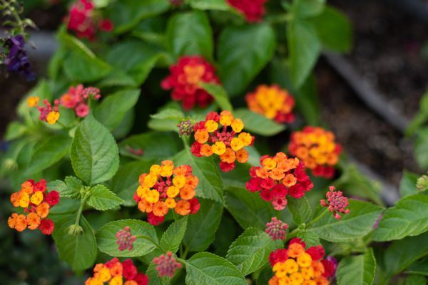 Bloodflower plant with tiny yellow, orange and red flower clusters surrounded by green leaves closeup