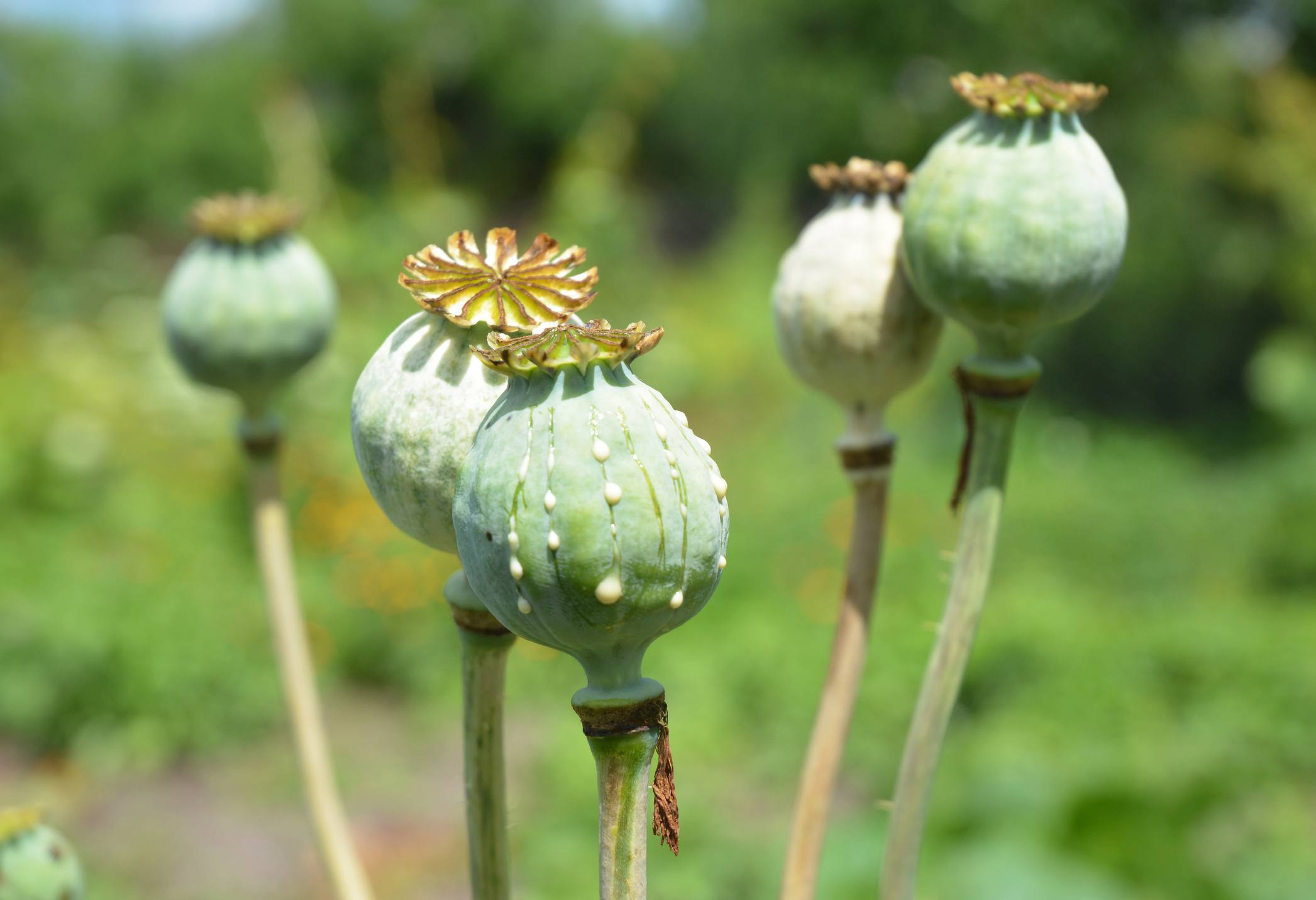 Poppies hard easy and too easy to grow types opium poppies illegal mightylinksfo