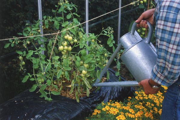 A man using a water can to water tomatoes
