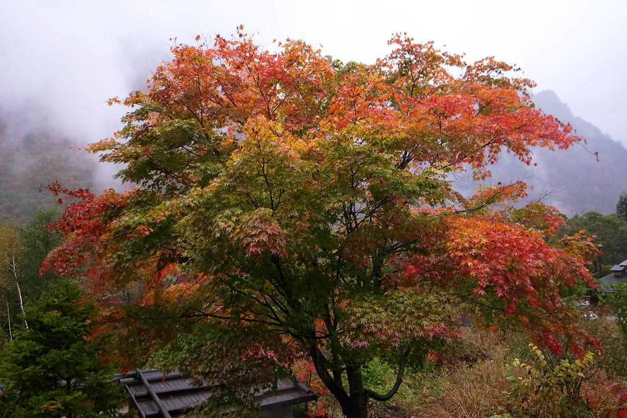 How To Grow And Care For The Red Maple Tree