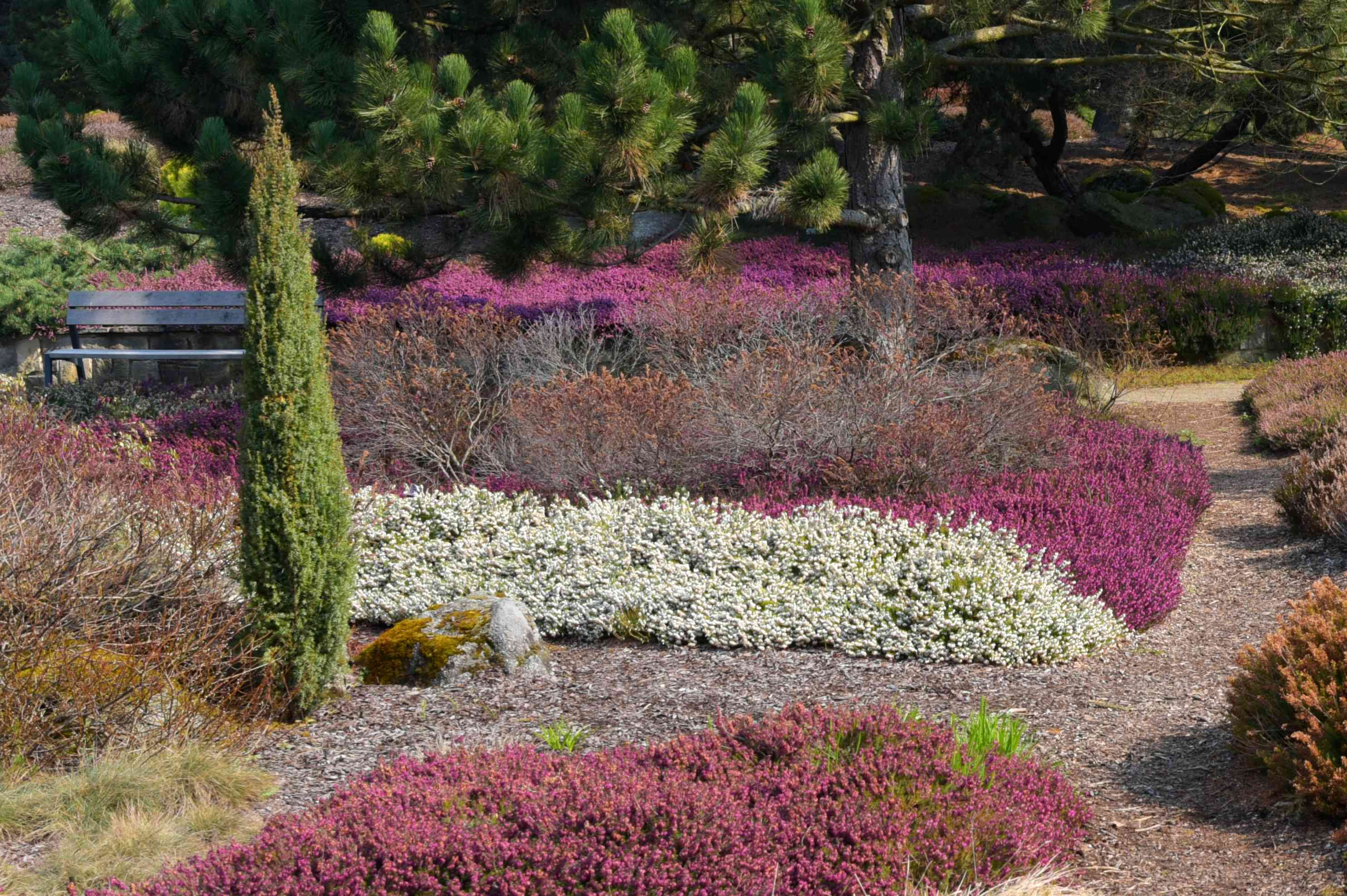 Dwarf juniper tree in middle of garden with white and pink bushes in sunlight