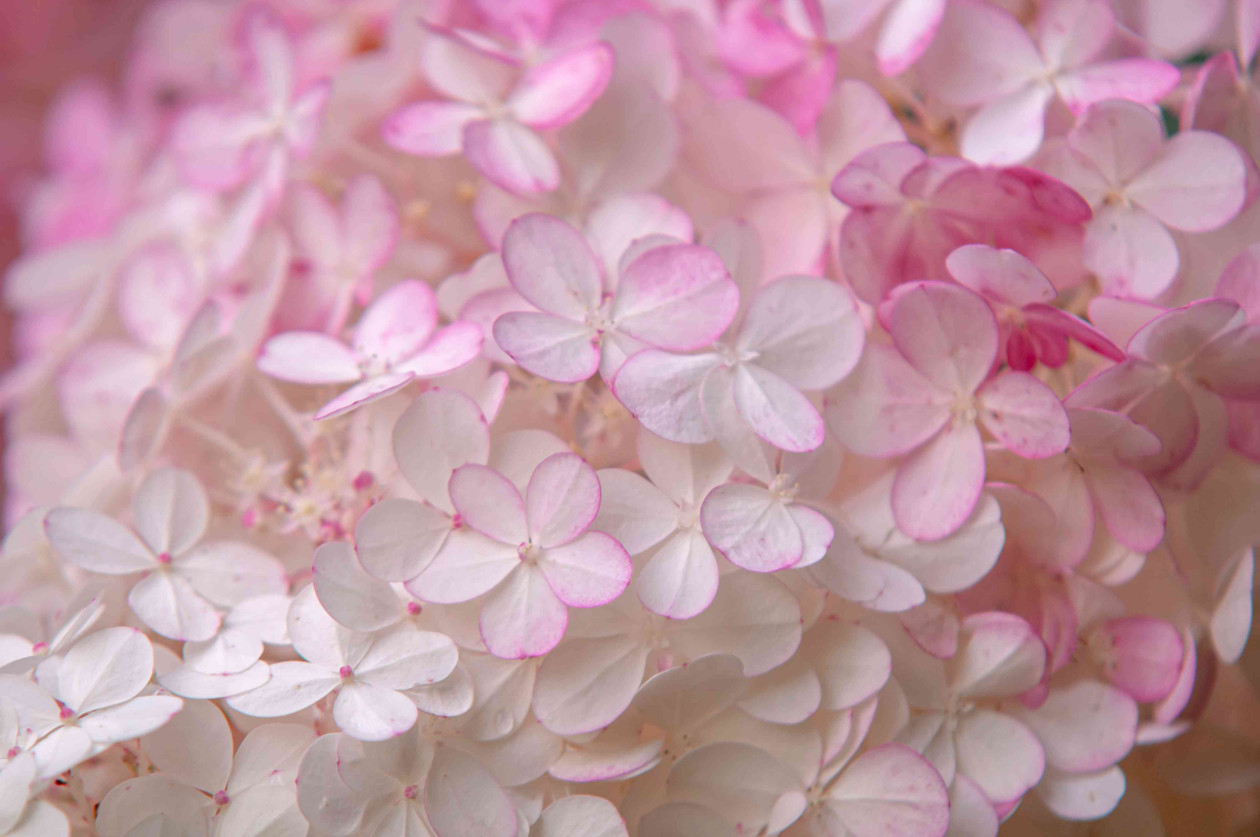 Strawberry vanilla hydrangea with bi-colored flowers clustered with white and pink petals closeup