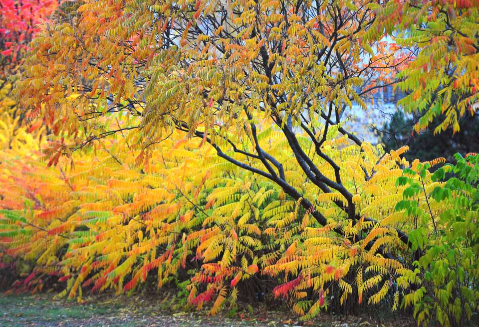 Smooth sumac growing with yellow, red and orange leaves
