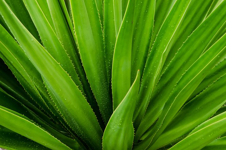 What to Know About Aloe Vera Plants