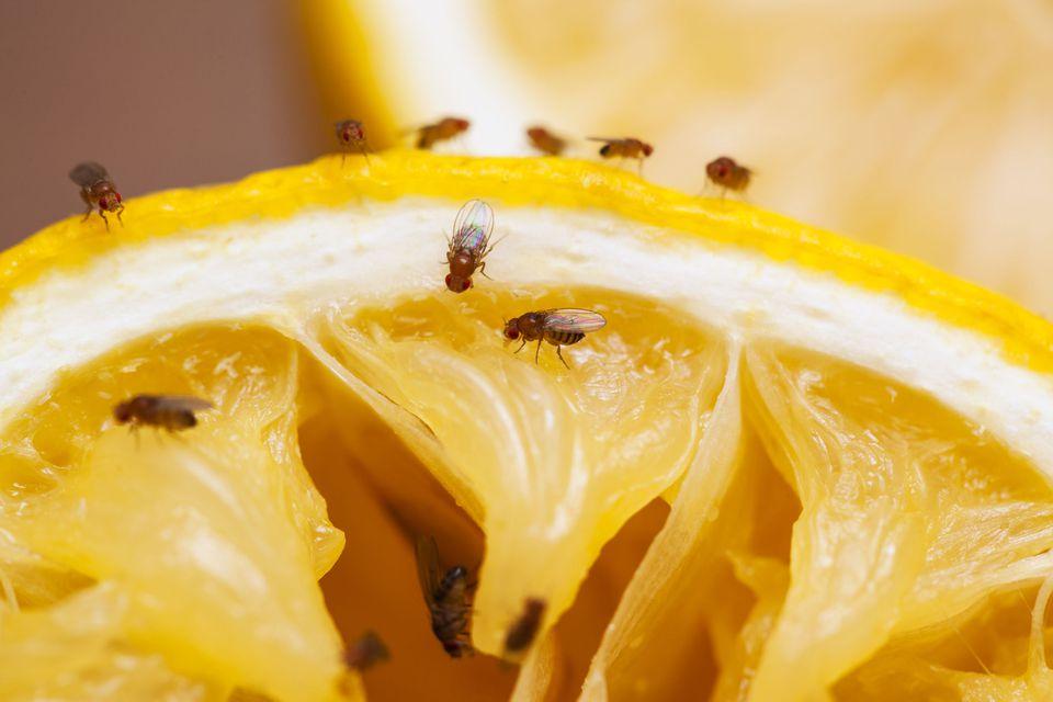 Fruit flies on lemon
