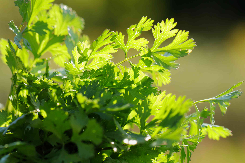 closeup of cilantro