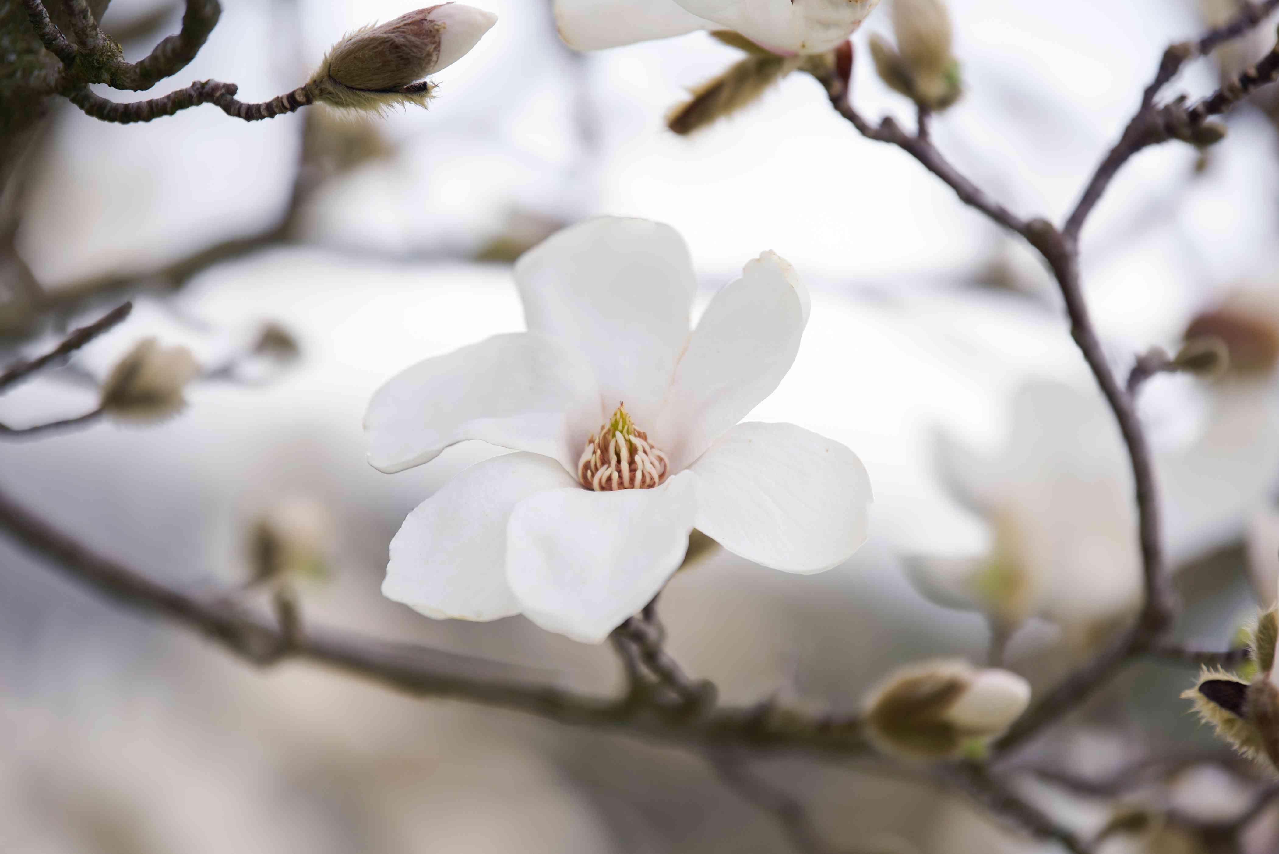 Kobus magnolia tree white flower blossom closeup