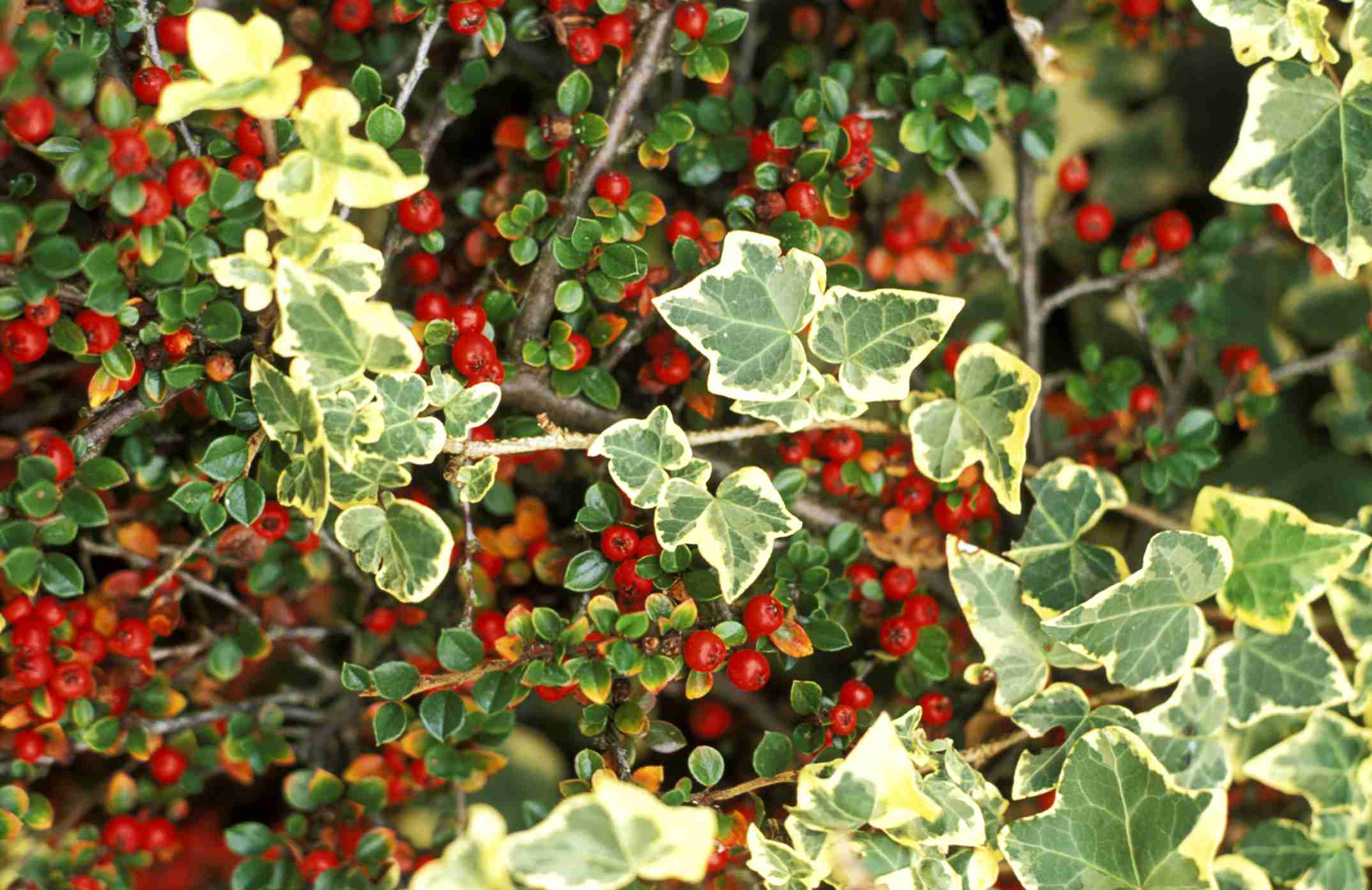 Hedera helix 'glacier' (variegated ivy) against a backdrop of cotoneaster berries.