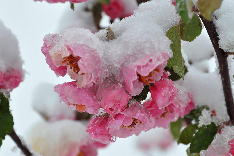 Spring Flowers in Snow