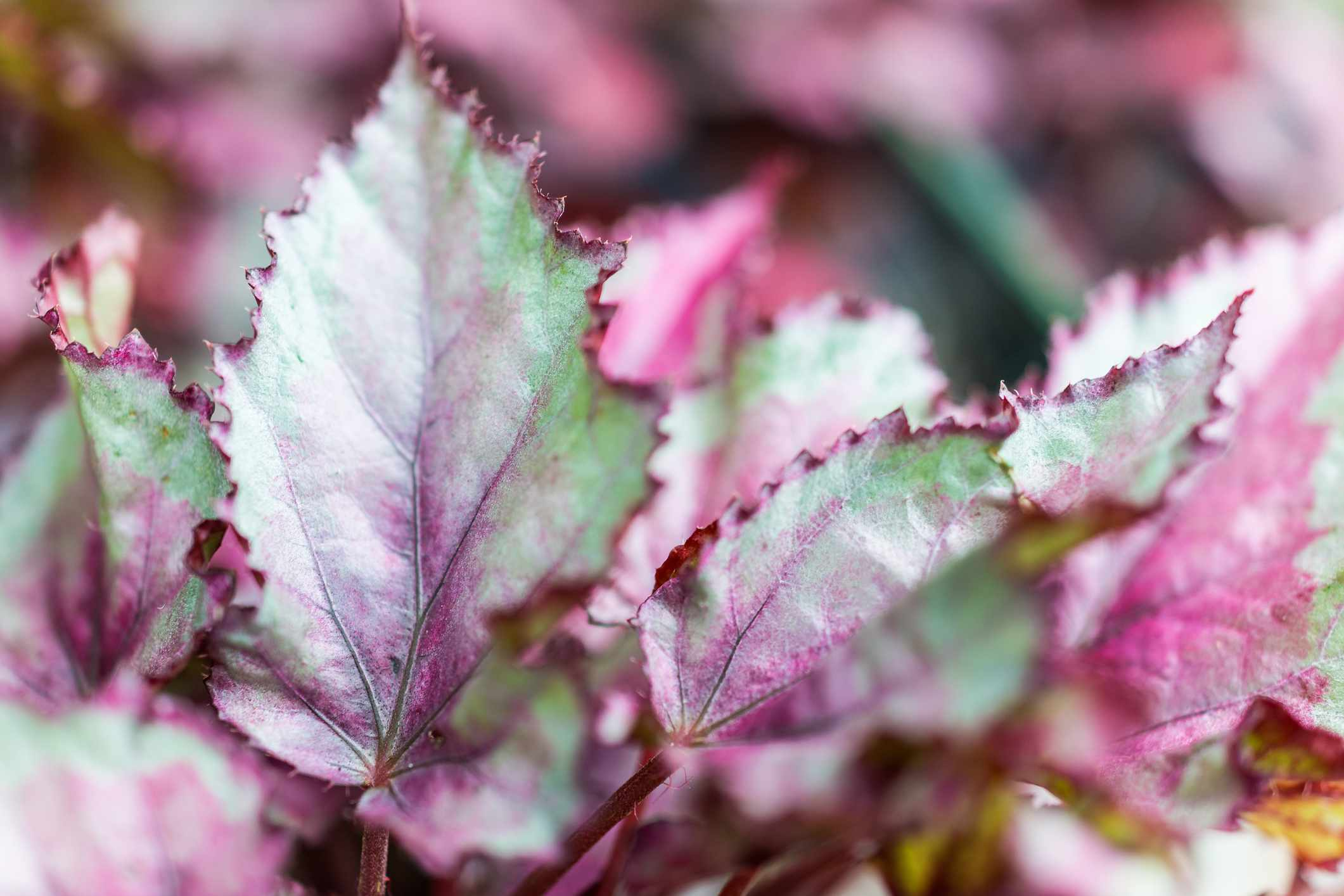 Macro closeup of green and purple rex begonia leaves
