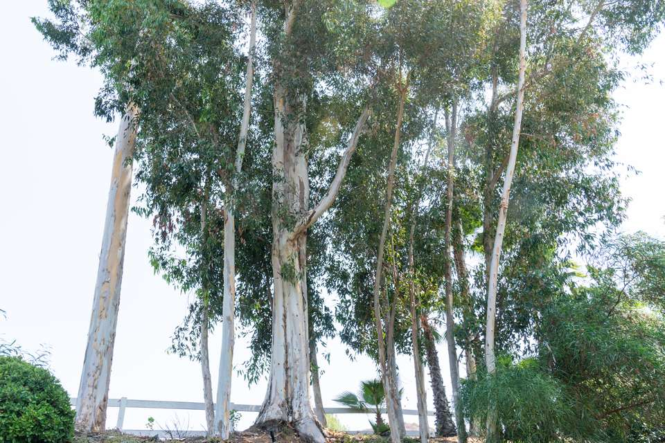 Gum trees with white-colored bark on tall trunks and long branches by lake