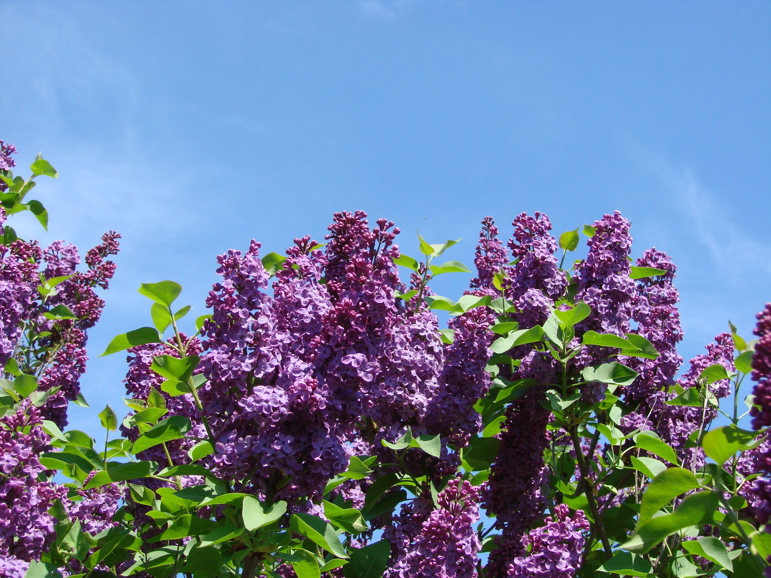 Purple lilac bushes in bloom