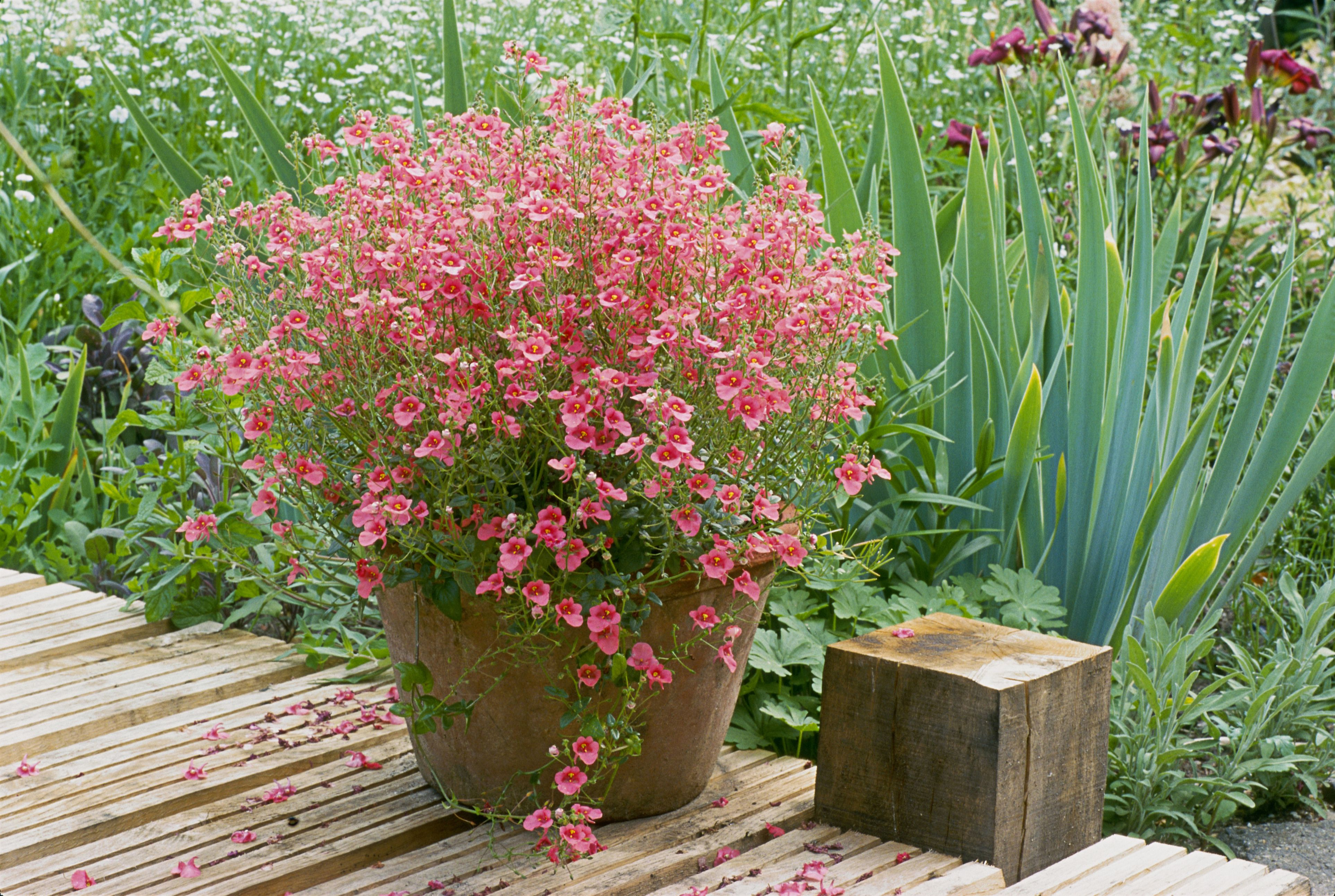 Cool season annual flowers for spring and fall diascia izmirmasajfo