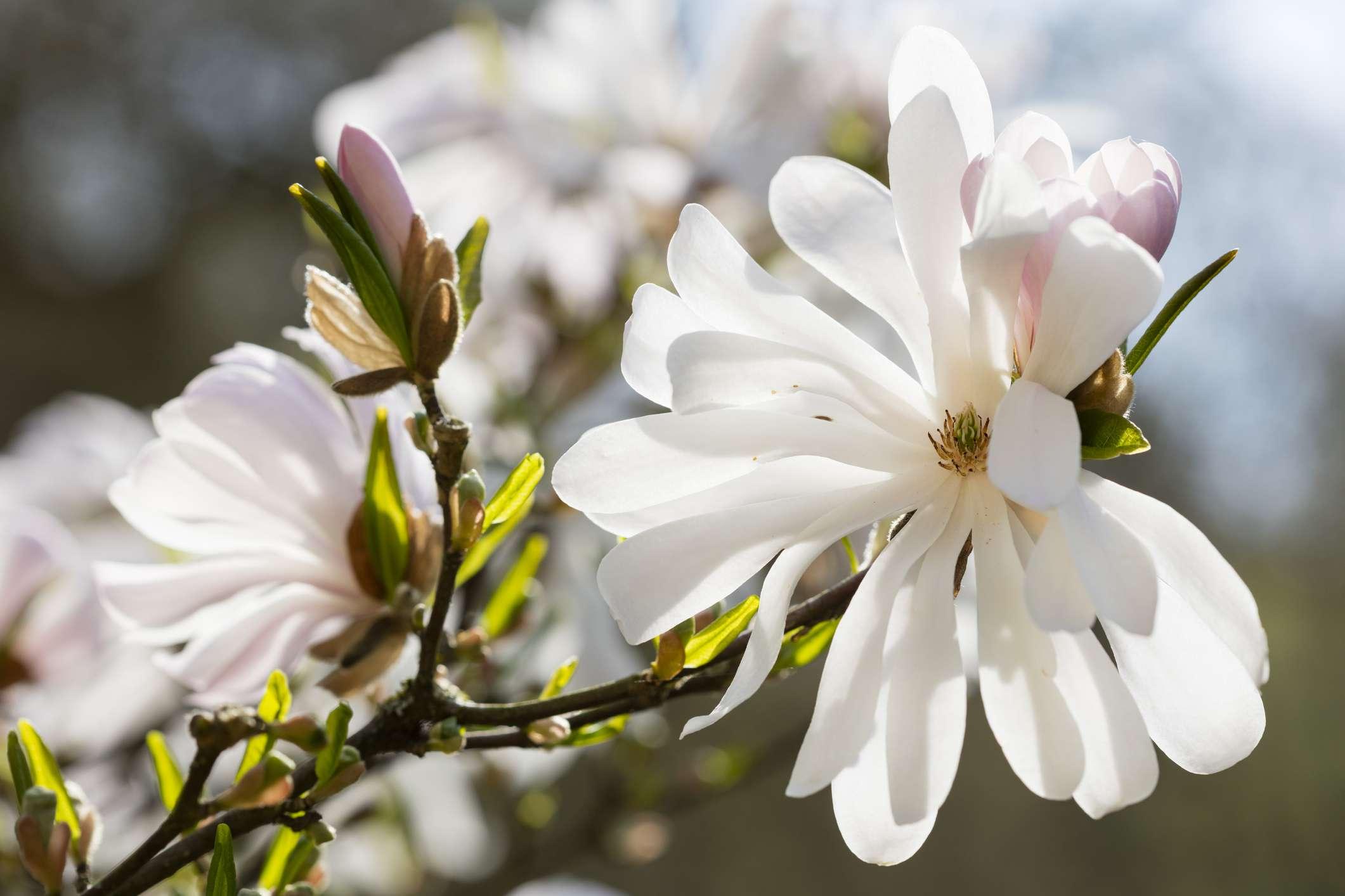 Blossom of Star Magnolia