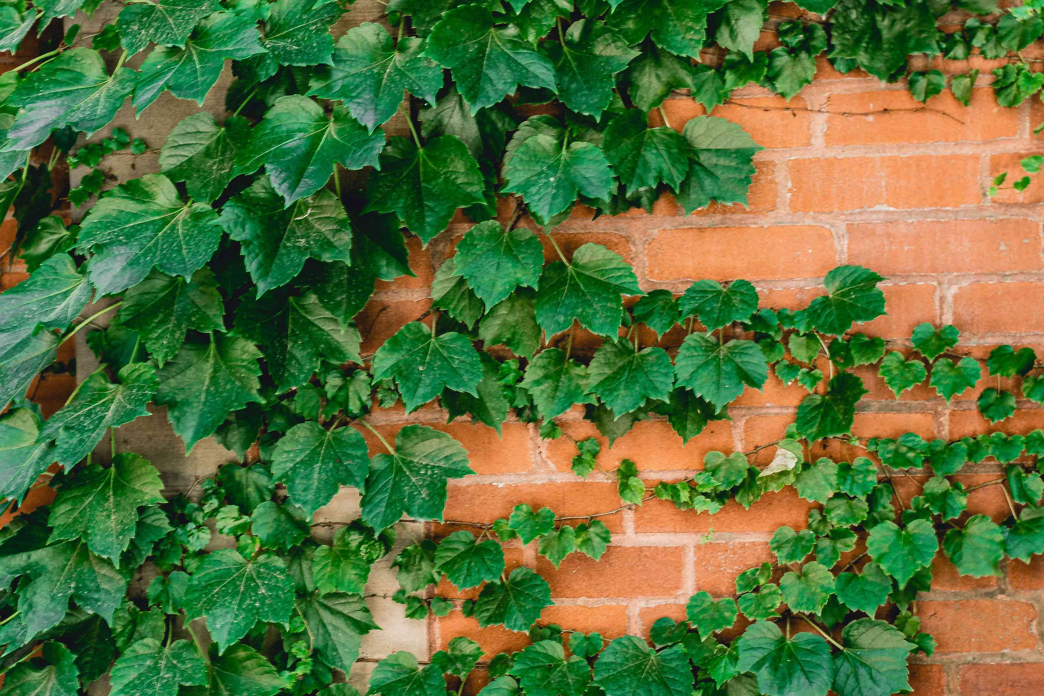 Boston ivy vine with dark-green leaves climbing brick wall