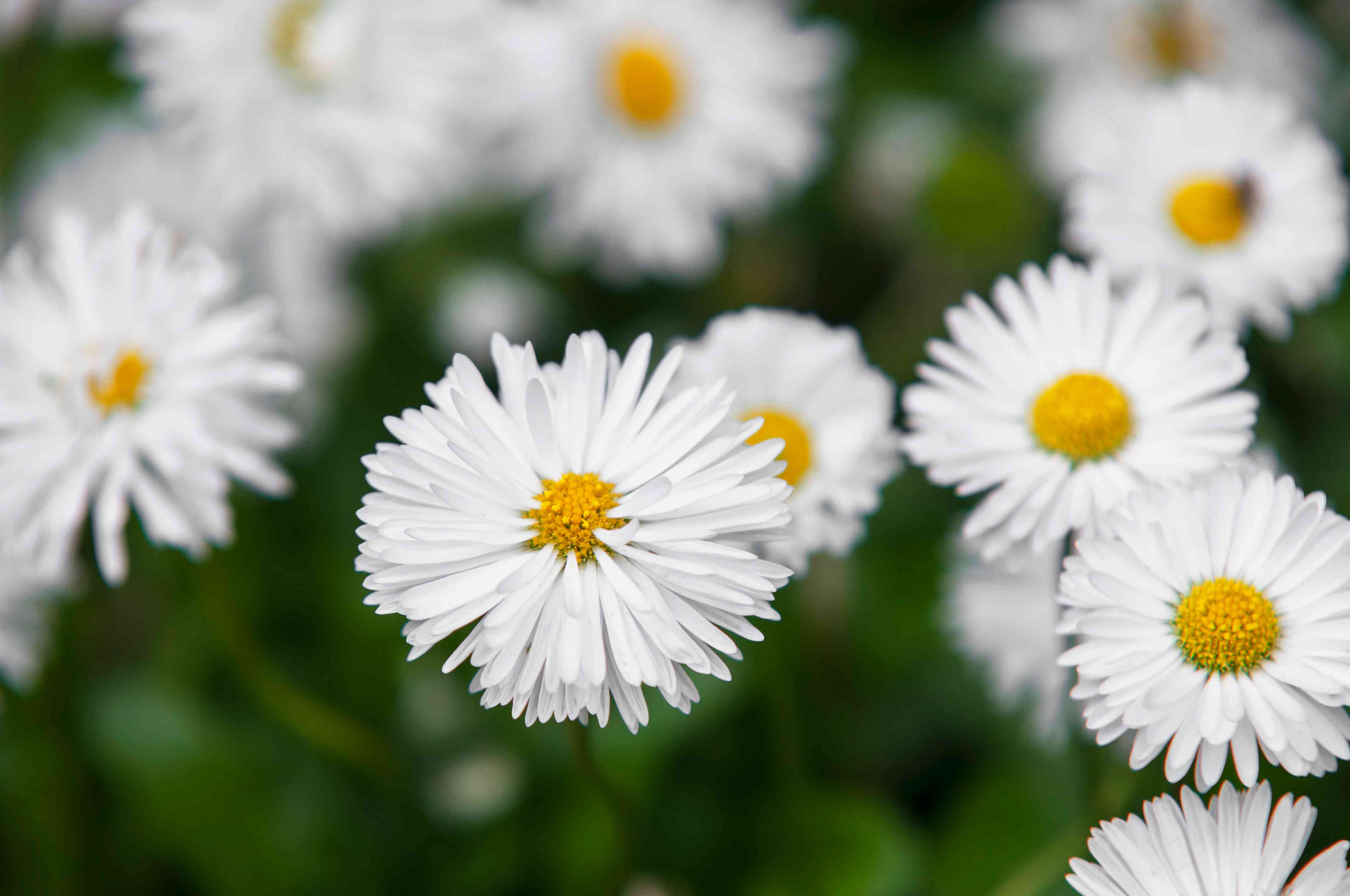 English daisy with white flowers closeup